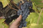 Vino biologico tradizionale