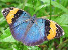 neophron-farfalla
